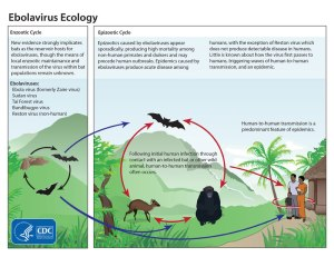 EBOLA ecology